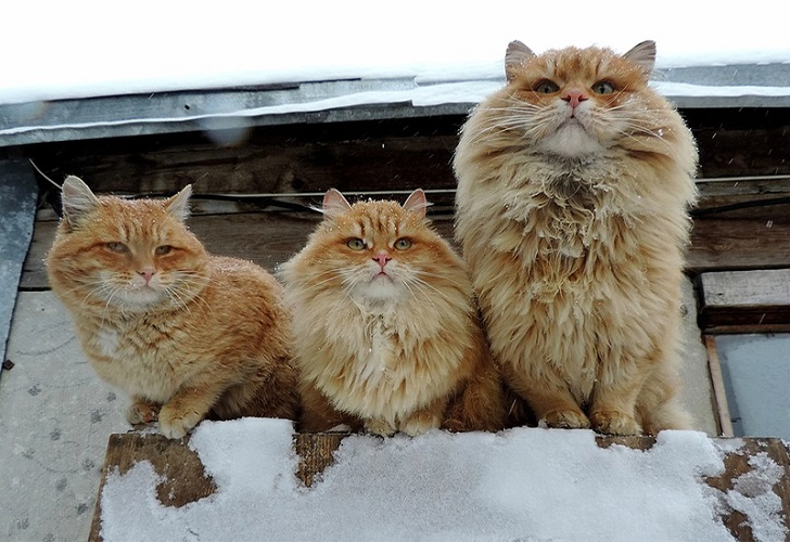 Siberian-Cats_photo-Alla-Lebedeva91