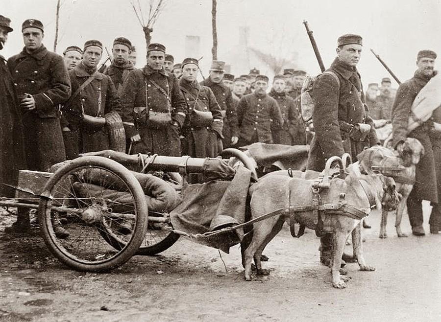 Бельгийские солдаты и их собаки, запряженные в пушки, по пути на Западный фронт. 1914 год.