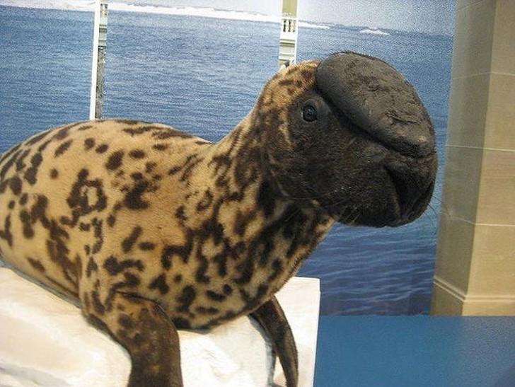 Хохлачи встречаются только в отдельных отдаленных районах Северной Атлантики. Эти представители семейства тюленьих известны своей уникальной носовой полостью, расположенной в верхней части головы, которую они сдувают и надувают во время купания, а также раздувают, когда чувствуют опасность.