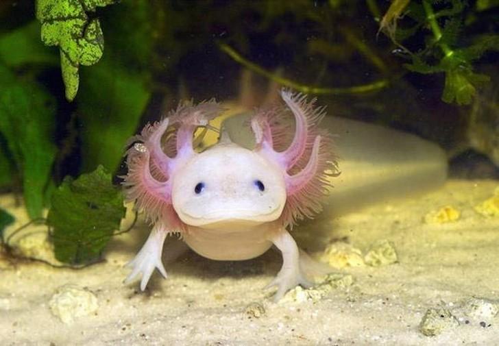 Также известные как мексиканская саламандра, эти маленькие амфибии обитают в озерах Центральной Америки. В 2010 году эти странные существа были на грани исчезновения, и, согласно исследованиям 2013 года, ученым не удалось обнаружить их в дикой природе.