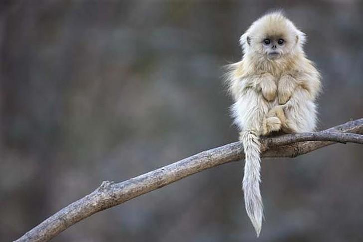 Эти яркие приматы живут преимущественно в Южном и Центральном Китае, на высоте до 4000 метров. Весьма редки, вид находится под угрозой исчезновения, занесены в Красную книгу. Попали под угрозу исчезновения из-за вырубки лесов.