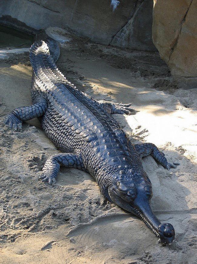 Гавиал является уникальным животным среди современных крокодилов. Хотя миллионы лет назад существовало несколько их видов, сегодня гангский гавиал — последний из оставшихся представителей этого древнего рода и единственный вид семейства гавиаловых. Их длинные, тонкие челюсти делают их гибкими и проворными охотниками за рыбой. Из-за истребления человеком их численность снизилась до 2%. На данный момент существует меньше 235 особей данного вида, большинство из которых находятся в Индии.