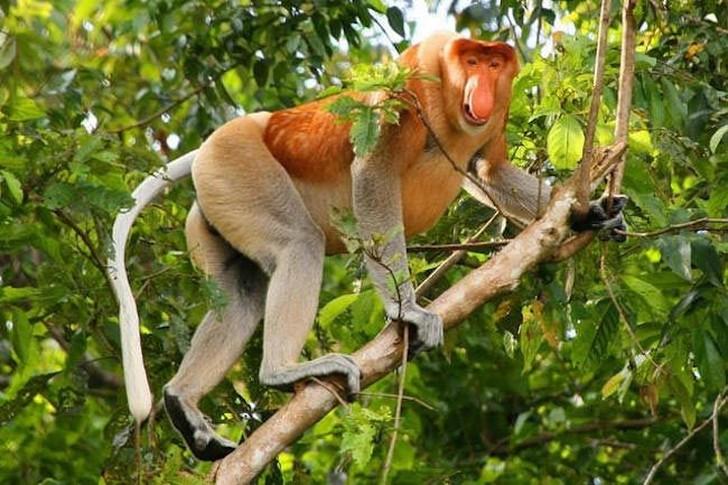 Этот странный вид обезьян, известный своим впечатляющим носом, встречается только на острове Борнео. Численность этих обезьян снизилась до 50% в течение последних 40 лет. В настоящее время вырубка лесов представляет главную угрозу для носачей. Также этот вид страдает от охоты, хотя он охраняется законом. Согласно Международному союзу охраны природы, носачи находятся под угрозой исчезновения.