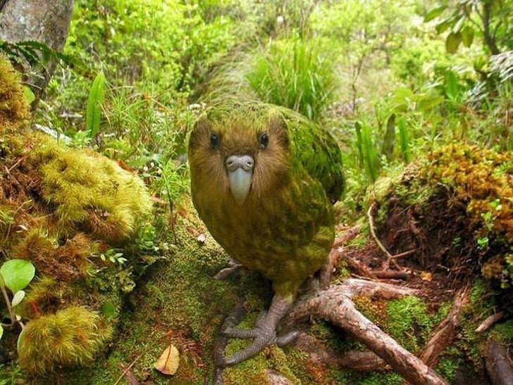 Какапо, или совиный попугай, встречается в Новой Зеландии и является единственным нелетающим попугаем, который к тому же предпочитает ночной образ жизни. Европейская колонизация острова принесла с собой кошек, что сделало какапо легкой добычей. Эти птицы находятся под угрозой исчезновения, их осталось всего около 130 особей.