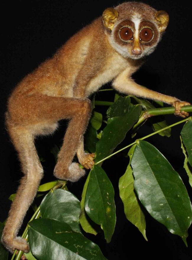 Лори этого вида были замечены всего четыре раза с 1937 года и вообще исчезли в 1939-2002-м. Предполагается, что они и вовсе вымерли.