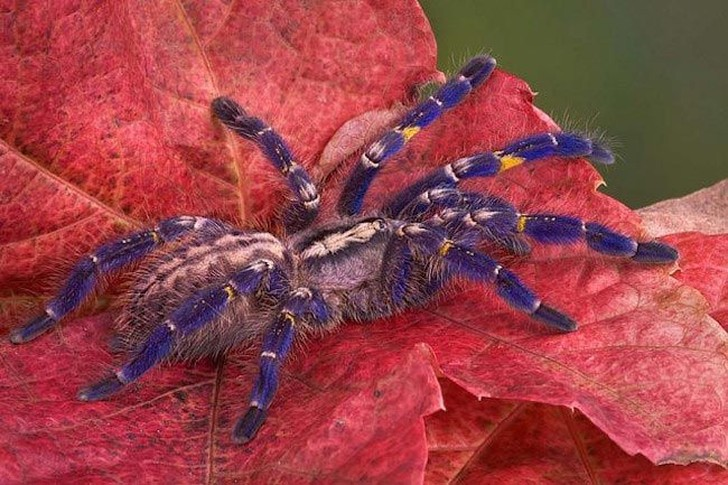 Этот вид паука можно найти только в отдаленных индийских лесах. Коллекционеры просят по 500 долларов за этих красивых цветастых членистоногих, и это привело к тому, что их численность значительно снизилась, приведя к угрозе исчезновения.