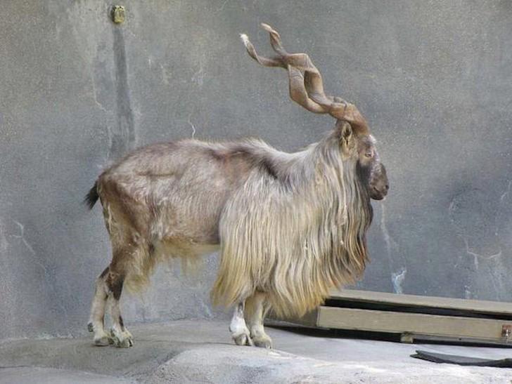 Мархур является национальным символом Пакистана. Его высокий статус и красота его невероятных рогов сделали мархура идеальной мишенью для охотников, стремящихся заиметь себе редкий трофей. Сегодня в дикой природе их осталось всего около 2500.