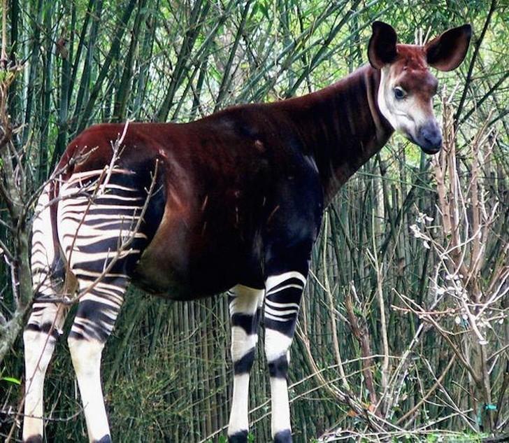 Это животное также известно как зебра-жираф. Окапи обрели славу в 1800-х годах, после обнаружения их британскими исследователями. Хоть окапи были открыты несколько столетий назад, до сих пор мало кто верит, что это странное существо может быть реальным. Сегодня вы можете найти их только в Демократической Республике Конго, где их осталось около 10-20 тысяч.