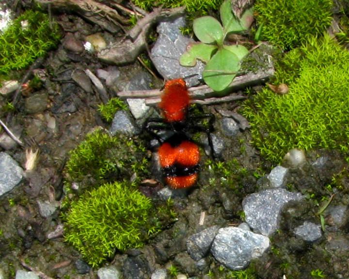 Самки бархатного муравья на самом деле являются бескрылыми осами, их тело покрыто ярко-красными или рыжими волосками.