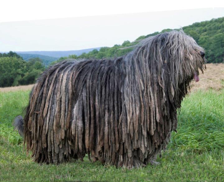 Бергамаско разводят как пастушью собаку. Чтобы защитить тело от холодного альпийского воздуха, природа одарила эту собаку густой длинной шерстью, похожей на модные дреды.