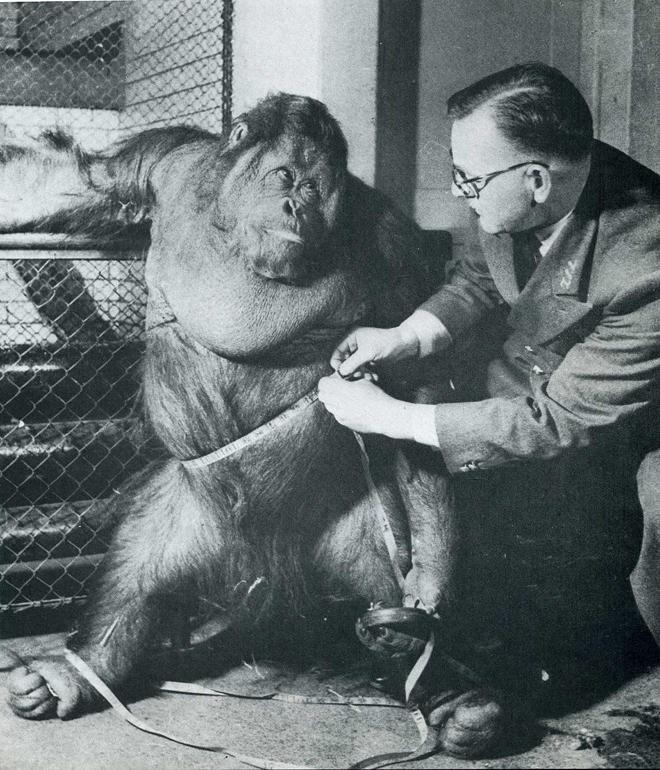 4. Надеясь пристыдить орангутана за лишний вес и посадить на диету, Билл Пекетт, смотритель за обезьянами Лондонского зоопарка, показывает мистеру Джиггсу, что обхват его талии равен 119 сантиметрам.
