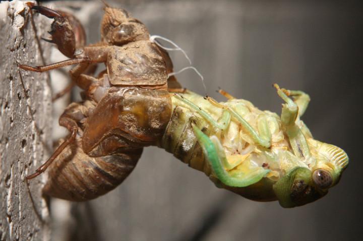 Цикады большей частью являются крупными насекомыми, водящимися во всех частях света, преимущественно в жарких странах. Известно до 1,500 разновидностей цикад.