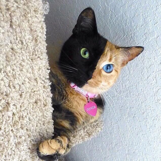 Этот кот действительно двухцветный, и цвета действительно распределяются так. Родившаяся в 2009 году Венера - кошка-химера: в одном её теле присутствуют ДНК двух разных кошек.