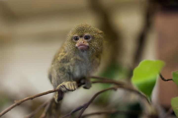 Обитающая в Амазонии, карликовая мартышка является самой маленькой мартышкой в мире.