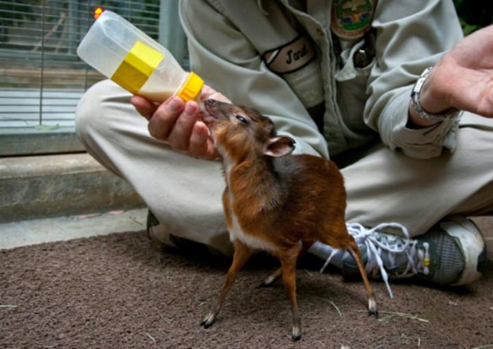 Также известная как карликовая антилопа.