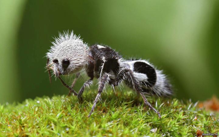 Этих насекомых удалось заснять на фото всего несколько раз. На самом деле, муравей-панда — это разновидность бескрылой осы. Говорят, что у них невероятно мощный укус.