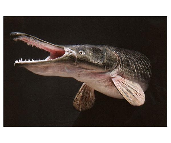 Панцирные щуки, или рыбы-аллигаторы, являются самыми крупными пресноводными рыбами, обитающими в водоемах Центральной и Северной Америки и острова Куба. Тело этих рыб покрыто панцирем из толстой и прочной чешуи, состоящей из внутреннего костного слоя и наружного слоя сверкающей эмали, или ганоина.