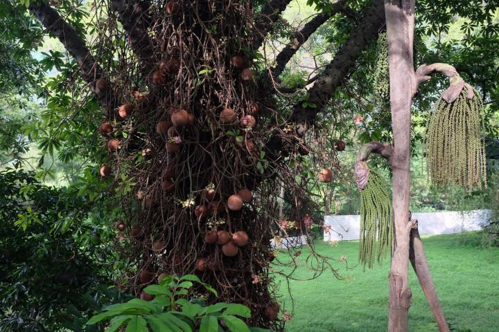Курупита гвианская известна и под некоторыми другими названиями, в том числе «пушечное дерево», это дерево, которое плодоносит вкусными бразильскими орехами.