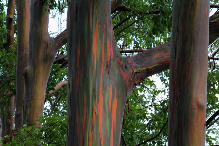 Это — единственная, произрастающая в природе, разновидность эвкалипта в северном полушарии. Такое изменение окраски ствола происходит за счет постепенного отслоения коры в виде узких полосок. На месте старой тёмной коры проступают светлые пятна. Сначала они ярко-зелёные, потом кора становится тёмно-зелёной, а дальше приобретает оттенки от голубоватого до пурпурного, которые сменяются розово-оранжевым и, в конце концов, коричнево-малиновым цветом.