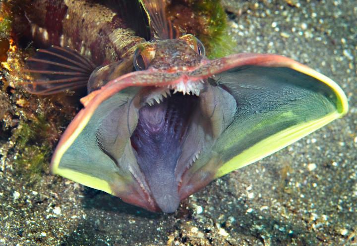 На самом деле, эта рыба выглядит вполне обычно, когда ей ничего не угрожает. Но стоит ей только чего-нибудь испугаться, так она тут же предстаёт в ином облике — во всей своей, так сказать, красе…