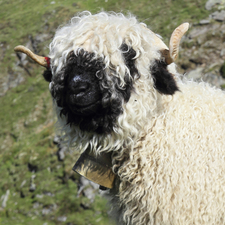 Это животное выращивается и ради шерсти, и ради мяса.