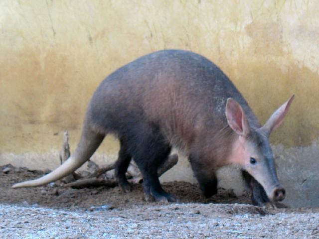 В Африке этих млекопитающих называют аардварк, что в переводе на русский язык означает «земляная свинья». На самом деле трубкозуб по внешнему виду очень сильно напоминает свинью, только с удлиненной мордой. Уши этого удивительного животного по своему строению очень сильно похожи на заячьи. Так же еще имеется и мускулистый хвост, который очень похож на хвост австралийского кенгуру.