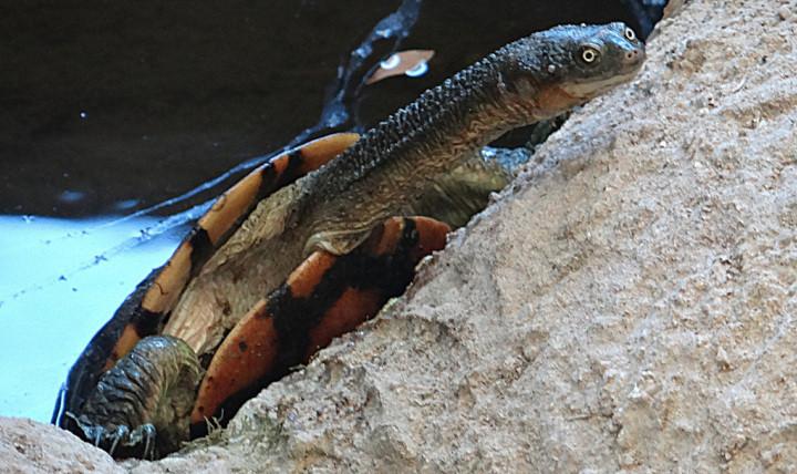 Эта черепаха прячет свою голову под панцирь не как обычные черепахи, — втянув внутрь, а наклонив её вбок.