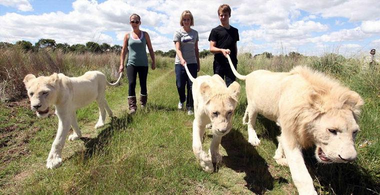 У південноафриканських готелях своя екзотика.  У провінції ПАР Лімпопо недалеко від міста Полоквані є готель Protea Hotel Ranch Resort, що пропонує унікальну опцію - прогулянку з левами.