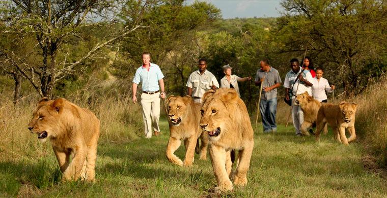 Однак, лещатах левів, не варто забувати, що в одній лише Танзанії від нападів царів звірів щорічно гине близько 70 осіб.  Хоч готельні леви з дитинства і звикли до людини, обережність не завадить.