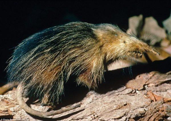 Щелезуб это небольшое агрессивное ядовитое насекомоядное млекопитающее. Внешне щелезубы похожи на барсуков или землероек, имеют плотное телосложение. В длину щелезубы около 30 см без хвоста. Хвост похож на крысиный: длинный и голый. Мордочка острая и заканчивается вытянутым хоботком. Во рту 40 острых зубов. В одном располагается глубокая щель к которой подходит проток подчелюстной железы, выделяющий ядовитую слюну. Подобно устроен змеиный ядовитый зуб. Укус щелезуба опасен только для насекомых, мелких грызунов и другой добычи. Для человека этот яд опасен, но не смертелен. Сами же щелезубы не имеют устойчивости к собственному яду. Часто щелезубы погибают при драках между собой даже от легких укусов противника.