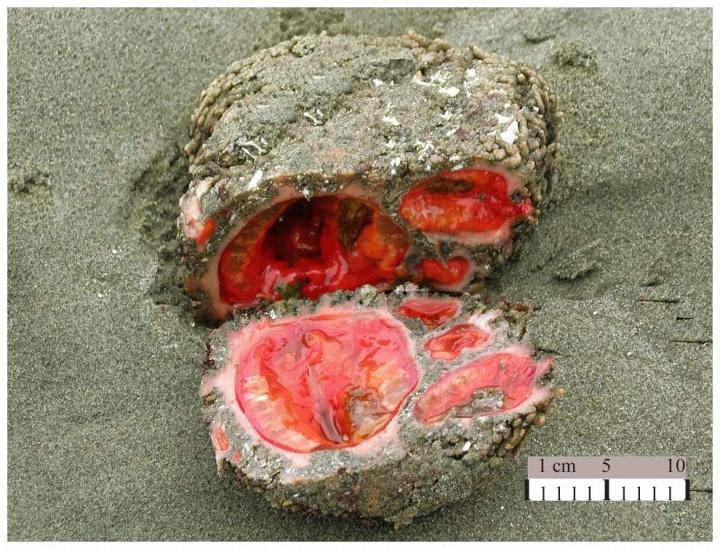 Это морское существо под названием Pyura chilensis, похожее на необычный камень, на самом деле является деликатесом в Перу,Чили.