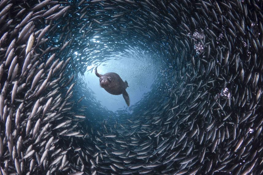 Голодный морской лев ищет ужин в окружении косяка рыб в водах вокруг Галапагосских островов. (David Fleetham/Bluegreen / Rex Features)