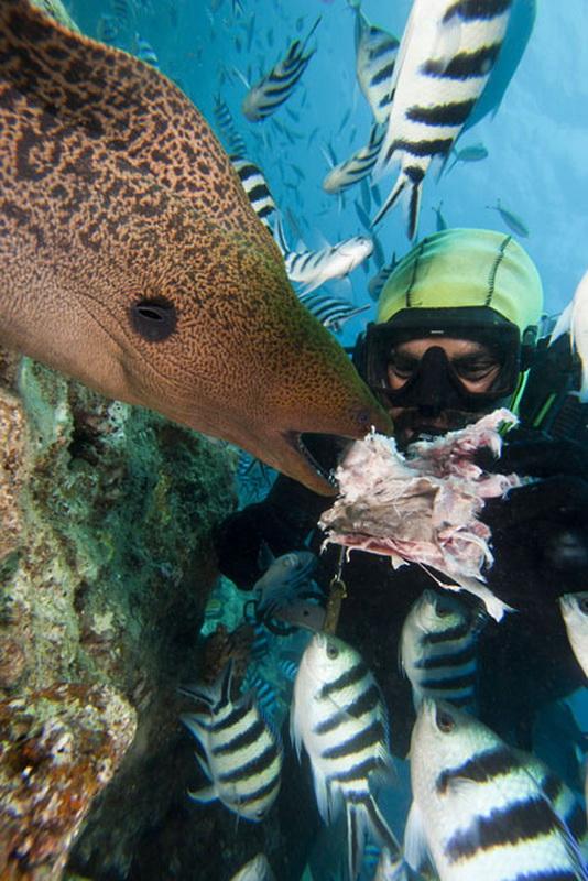 Дайвер кормит яванского гимноторакса, Фиджи. (David Fleetham/Bluegreen / Rex Features)
