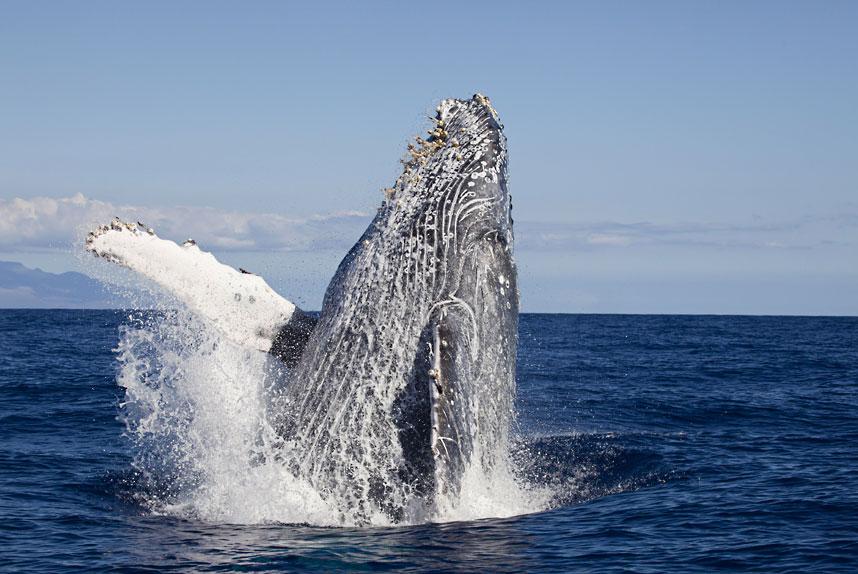Горбатый кит появляется на поверхности воды у берегов Гавайев. (David Fleetham/Bluegreen / Rex Features)