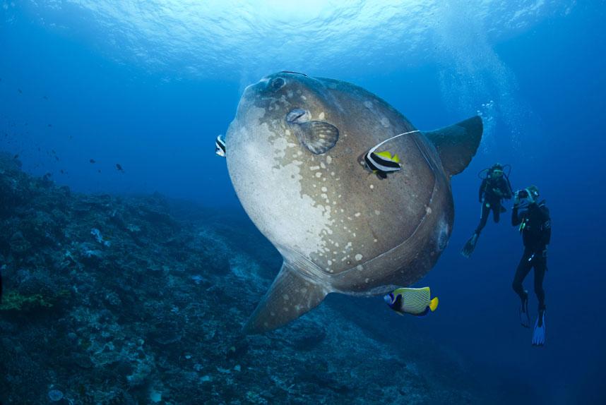 Рыбки чистят луна-рыбу недалеко от дайверов в водах острова Бали, Индонезия. (David Fleetham/Bluegreen / Rex Features)