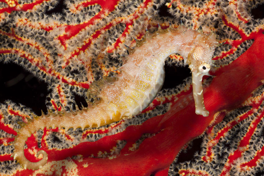 Морской конек среди красных кораллов, Филиппины. (David Fleetham/Bluegreen / Rex Features)