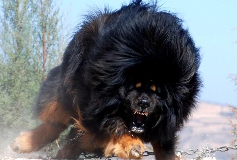 Одна из самых необычных пород собак — Тибетский мастиф.