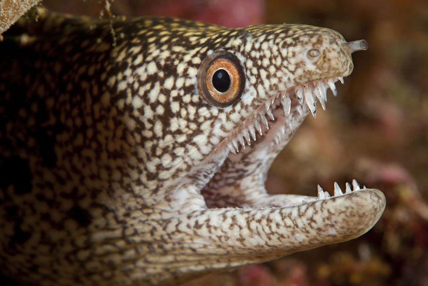 Челюсть и зубы мурены Gymnothorax eurostus, Гавайи. (David Fleetham/Bluegreen / Rex Features)