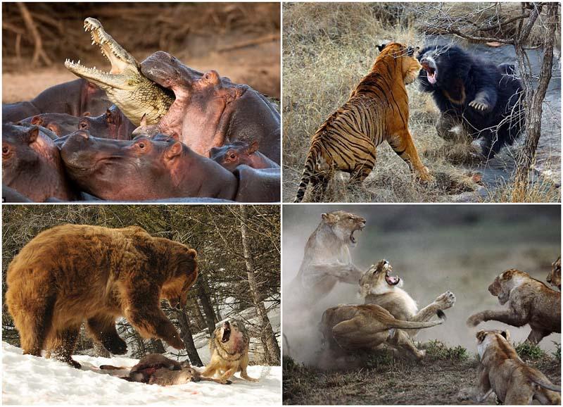 Медведица против тигра.: novosti-n.org/ukraine/read/107274_p.html