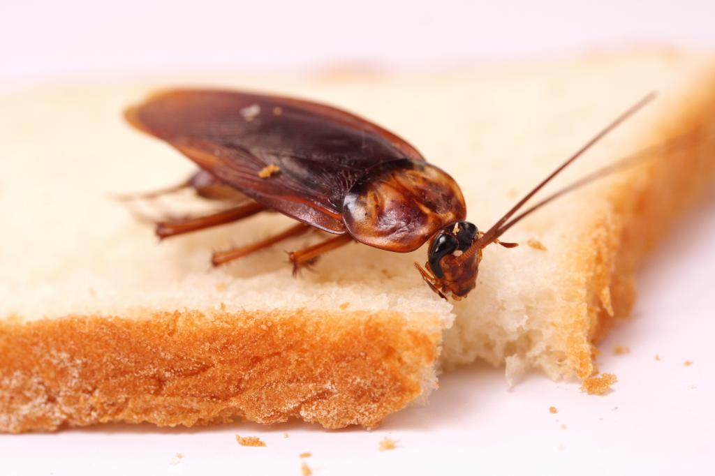 Cockroach eating a bread slice
