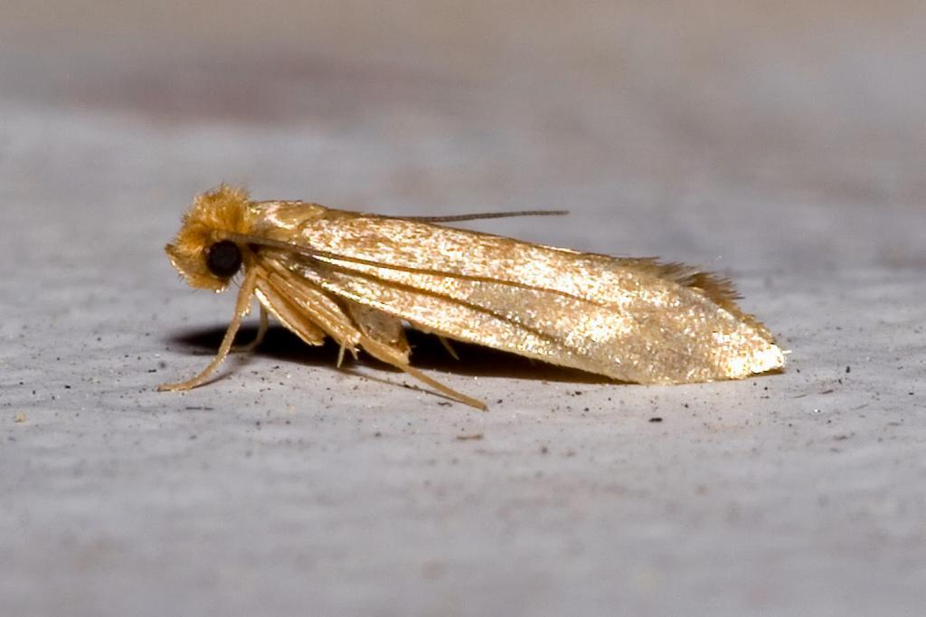 Tineola.bisselliella.7218