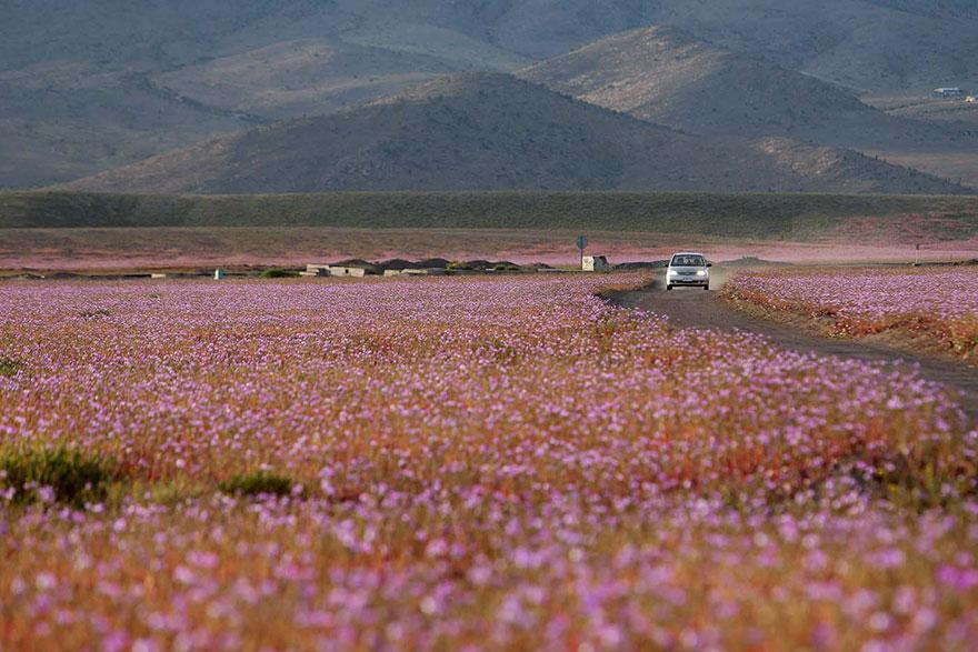 atacama-flowers-bloom-worlds-driest-desert-13