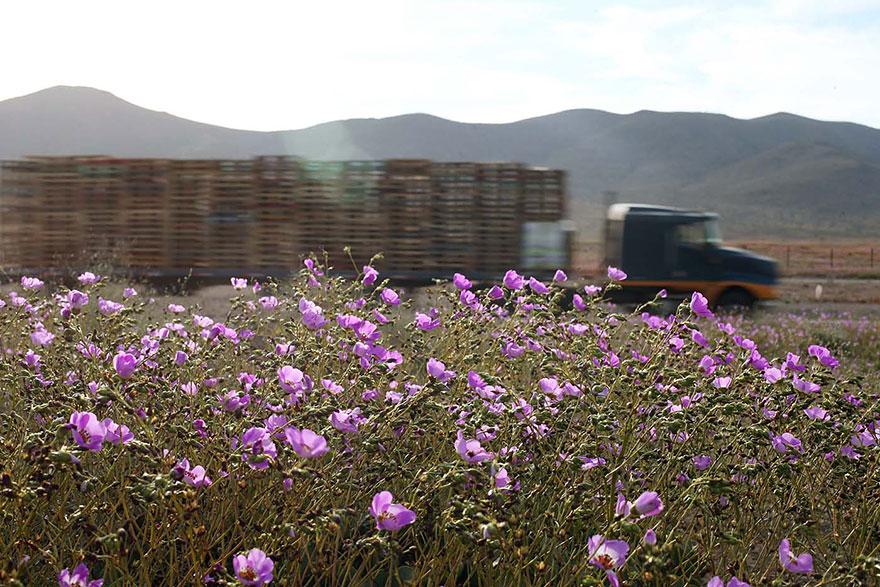 atacama-flowers-bloom-worlds-driest-desert-2
