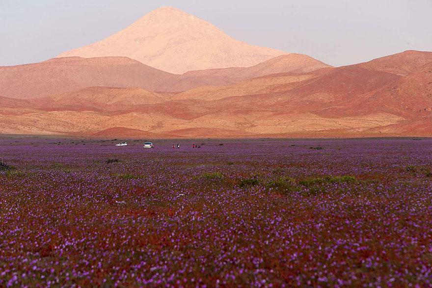 atacama-flowers-bloom-worlds-driest-desert-3