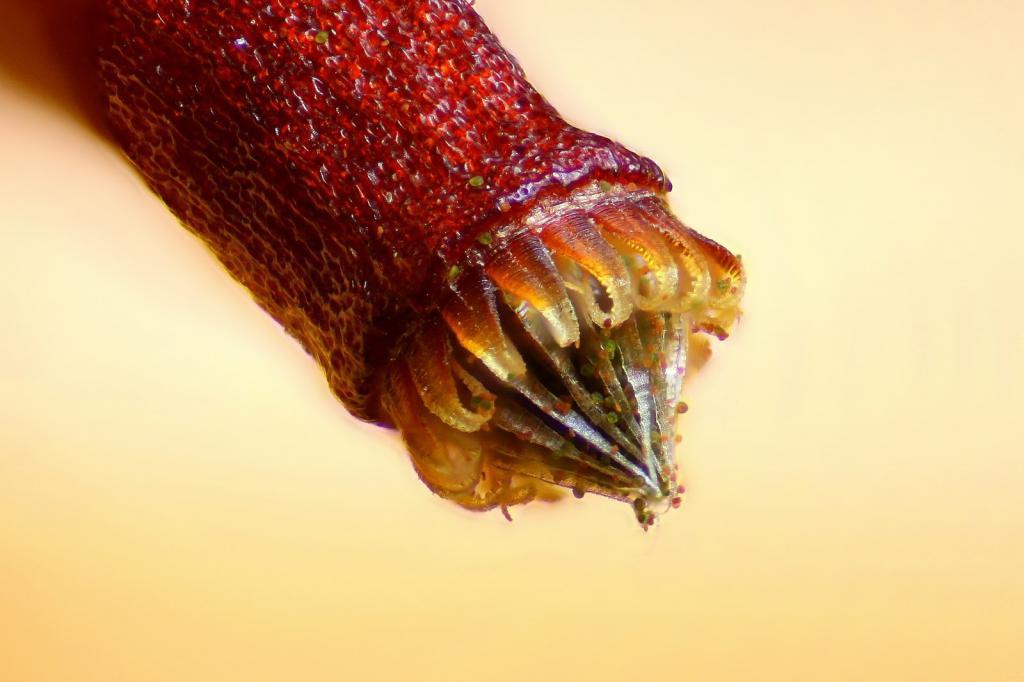 Спора моха Bryum sp. Автор фото: Henri Koskinen.