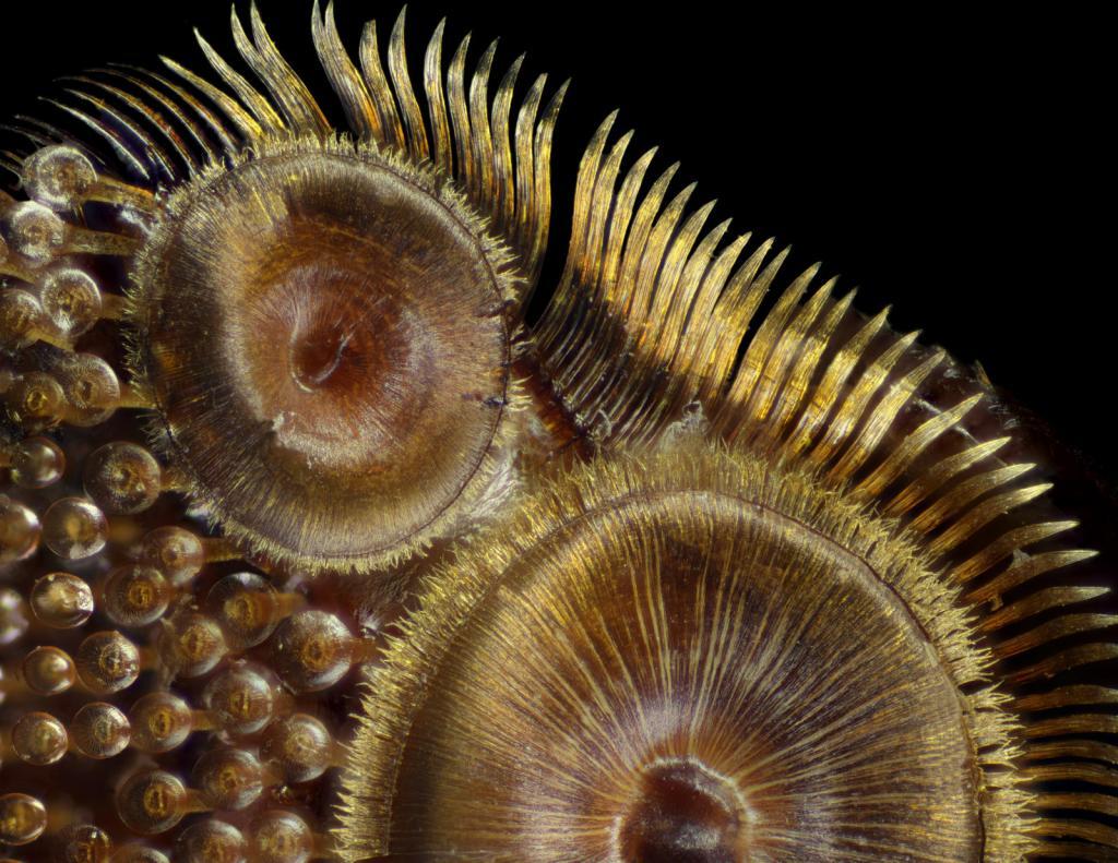 Присоски жука Dytiscus sp. 50х. Автор фото: Frank Reiser.