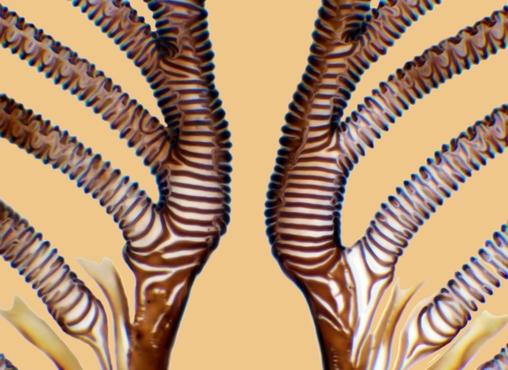 Ротовая часть трахеи мясной мухи Calliphora vomitoria. 750х. Автор фото: Raymond Morrison Sloss.