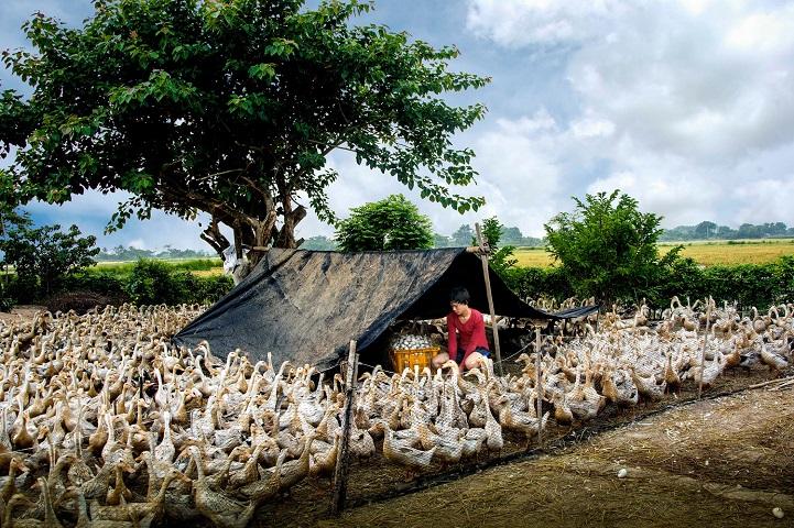 15. Поощрительная премия — «Сбор утиных яиц» (автор: Тран Ван Туй, Вьетнам). Разведение уток и сбор яиц является главным источником дохода этой вьетнамской семьи.