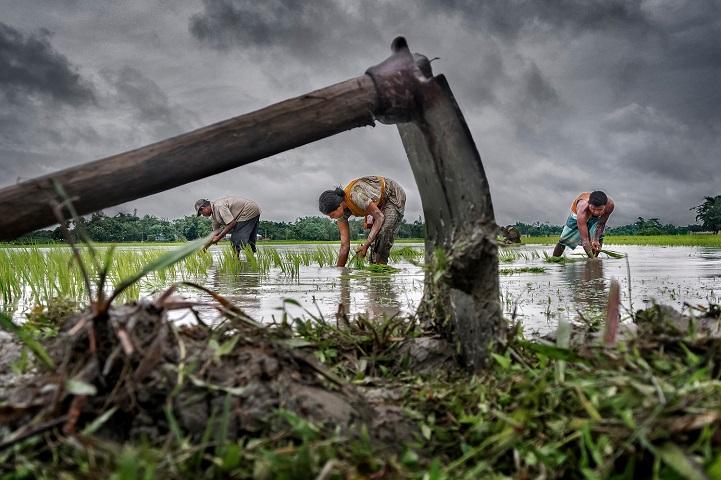 2. Гран-при — «Выращивание риса падди» (автор: Суджан Саркар, Индия). Рис — основная еда в Восточном Бенгале, Индия. Мужчины, женщины и даже дети принимают участие в его выращивании.