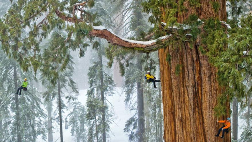 Самое гигантское дерево в мире впервые удалось вместить полностью на одной фотографии